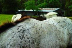 在草甸的两匹马 库存图片