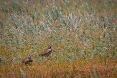 在草甸的两只云雀鸟 免版税库存照片