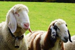 在草甸的两只绵羊 图库摄影