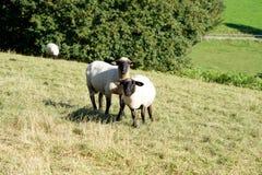 在草甸的两只绵羊 库存图片