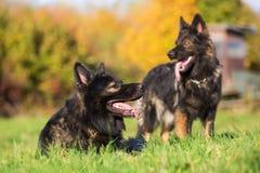 在草甸的两条德国牧羊犬狗 免版税库存图片