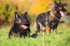 在草甸的两条德国牧羊犬狗 免版税库存照片