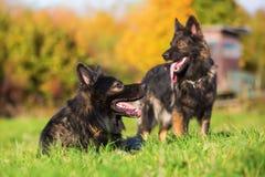 在草甸的两条德国牧羊犬狗 库存图片