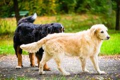 在草甸的两条狗在公园 免版税图库摄影