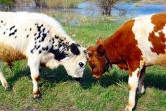 在草甸的两头公牛靶垛 免版税图库摄影