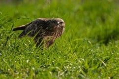 在草甸的共同的肉食鵟鸟鵟鸟在夏天 免版税库存照片