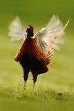 在草甸的共同的野鸡有开放额嘴和蒸汽的 库存图片