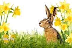 在草甸的复活节兔子有黄水仙的 免版税库存图片