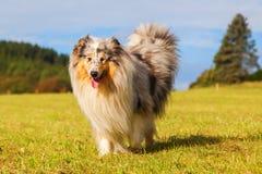 在草甸的大牧羊犬狗 免版税库存照片