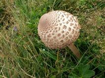 在草甸的夹层蘑菇 免版税图库摄影