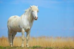 在草甸的好的白马 与深蓝天空, Camargue,法国的马 美丽的白色动物在自然栖所 狂放的hor 免版税库存照片