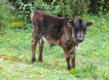 在草甸的小母牛 库存照片
