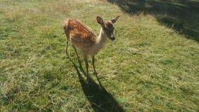 在草甸的小的鹿 免版税库存照片