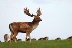 在草甸的小鹿男性 免版税库存照片