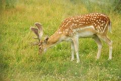 在草甸的小鹿 库存图片