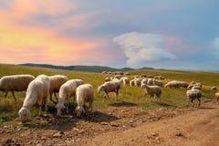 在草甸的山羊 免版税库存照片