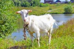 在草甸的山羊 图库摄影