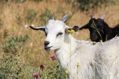 在草甸的山羊 免版税库存图片
