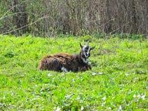 在草甸的山羊 库存图片