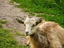 在草甸的山羊 库存照片