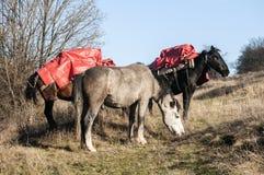 在草甸的山驮马 免版税图库摄影