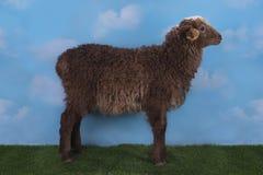 在草甸的布朗羊羔在一个晴天 库存图片