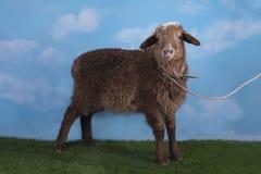 在草甸的布朗羊羔在一个晴天 免版税库存照片