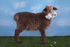 在草甸的布朗羊羔在一个晴天 图库摄影