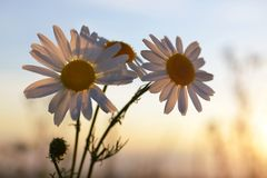 在草甸的延命菊雏菊日落的 免版税图库摄影
