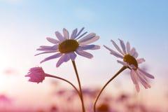 在草甸的延命菊雏菊日落的 库存照片