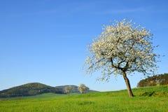 在草甸的开花的樱桃树在好日子 库存照片