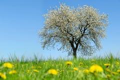 在草甸的开花的樱桃树用蒲公英 免版税图库摄影