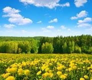 在草甸的开花的蒲公英 库存图片