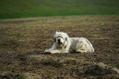 在草甸的护羊狗 库存图片