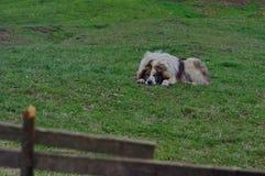 在草甸的护羊狗 库存照片