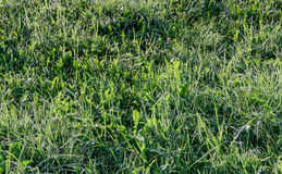 在草甸的早晨露水在春天 库存图片
