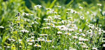 在草甸的春黄菊。 库存照片