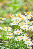 在草甸的春黄菊。 免版税库存图片