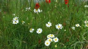 在草甸的春黄菊花