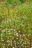在草甸的春黄菊花 免版税库存照片