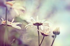 在草甸的春黄菊,有摘要的弄脏了背景,嘘特写镜头 免版税图库摄影