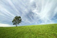 在草甸的桦树 免版税图库摄影