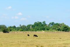 在草甸的母牛群 免版税图库摄影