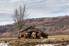 在草甸的母牛,风景 免版税库存图片