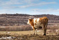 在草甸的母牛,风景 免版税库存照片