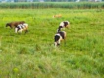 在草甸的母牛 图库摄影