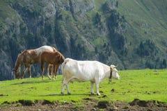 在草甸的母牛 免版税库存照片