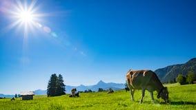 在草甸的母牛Allgau的 库存照片