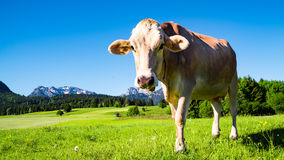 在草甸的母牛Allgau的 免版税库存图片
