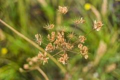 在草甸的狂放的干花 免版税库存图片